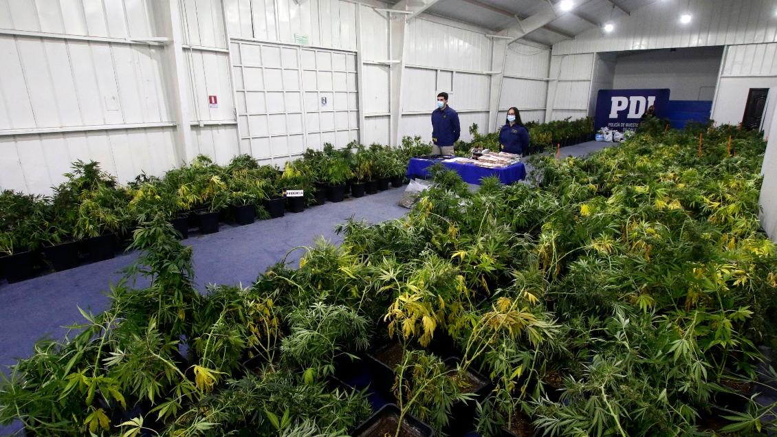 Informe de la PDI: incautaciones de marihuana se triplicaron respecto a 2020